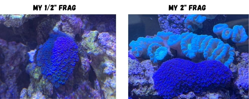 blue clove polyps coral care