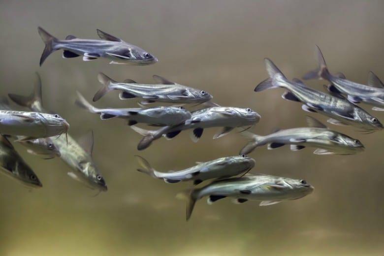 7 Amazing Brackish Water Aquarium Fish 7