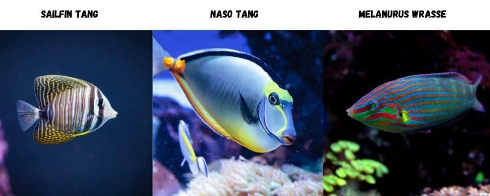 purple tang tank mates