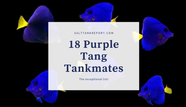 purple tang tankmates