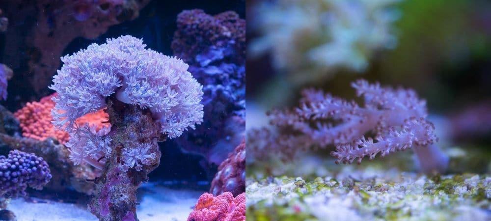 corals for 10 gallon tanks