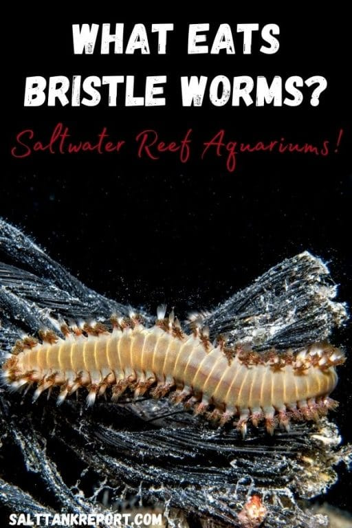 what eats bristle worms