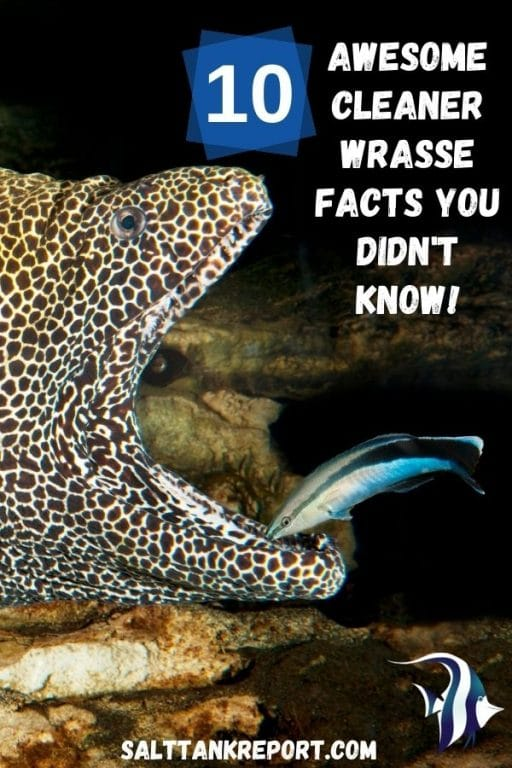 cleaner wrasse facts