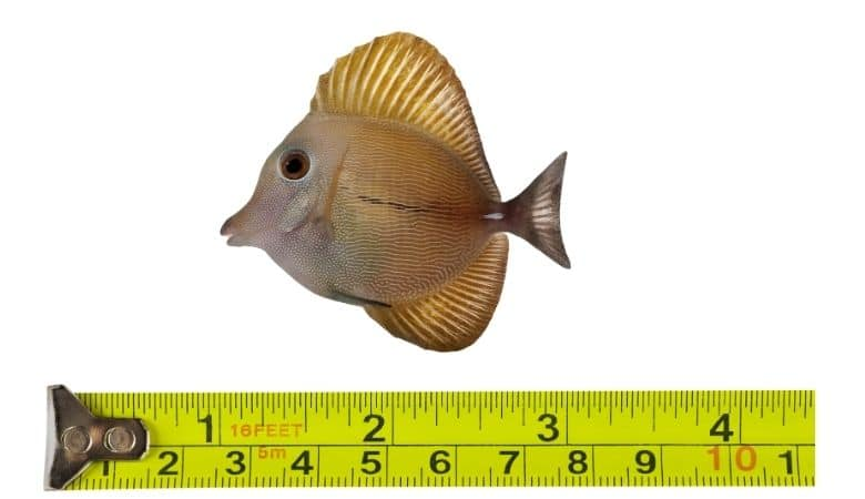 saltwater tang growth rate